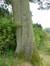 Quercus sp,