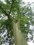 Quercus sp – Watermael-Boitsfort, Avenue Emile Van Becelaere, 42 –  08 Septembre 2014
