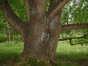 Cerisier noir