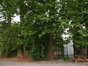 Platane à feuille d'érable – Watermael-Boitsfort, Parc du château Bischoffsheim, Avenue Van Kerm –  26 Juillet 2002