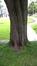 Acer saccharinum var. laciniatum – Saint-Gilles, Place Louis Morichar –  05 Juillet 2016