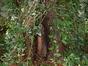 Marronnier commun – Saint-Gilles, Rue de l'Amazone, 42 –  08 Août 2002