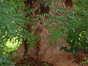 Robinier faux-acacia – Watermael-Boitsfort, Rue de la Bergerette –  07 Août 2002