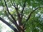 Chêne pédonculé – Saint-Gilles, Avenue des Villas, 59 –  19 Août 2002