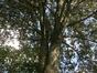 Acer pseudoplatanus 'Purpurascens' – Berchem-Sainte-Agathe, Parc Pirsoul, parc –  02 Septembre 2013