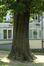 Châtaignier – Berchem-Sainte-Agathe, Parc Pirsoul, parc –  03 Juin 2020