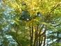 Erable palmé – Woluwé-Saint-Pierre, Avenue de Tervueren, 404 –  28 Octobre 2002
