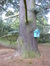 Cèdre bleu de l'Atlas – Woluwé-Saint-Pierre, Avenue Orban, 99 –  19 Octobre 2016