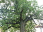 Poirier cultivé – Forest, Avenue Van Volxem, 179 –  13 Mai 2003