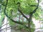 Magnolier de Soulange – Uccle, Avenue Adolphe Dupuich, 2 –  14 Mai 2003