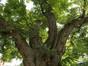 Gewone acacia – Etterbeek, Leopoldstadsquare –  27 August 2019