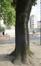 Acer platanoides f. schwedleri – Elsene, Renier Chalonplein, Renier Chalonstraat –  06 Juni 2019