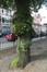 Tilleul à petites feuilles – Ixelles, Rue Renier Chalon –  06 Juin 2019