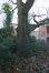 Chêne rouge d'Amérique – Bruxelles, Site de l'Hôpital Brugmann , Place Arthur Van Gehuchten –  10 Décembre 2018