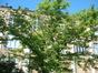 Pterostyrax hispida – Bruxelles, Université Libre de Bruxelles - Solbosch, parc –  15 Juillet 2003