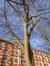 Robinier faux-acacia – Koekelberg, Rue Léon Autrique –  13 Mars 2015