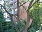 Saule blanc – Koekelberg, Avenue de la Basilique –  01 Août 2003
