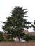 Cèdre de l'Himalaya – Berchem-Sainte-Agathe, Avenue de l'Hôpital Français, 56 –  02 Octobre 2013