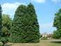 Sequoia géant – Berchem-Sainte-Agathe, Rue de Dilbeek, 1 –  20 Août 2003