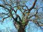 Robinier faux-acacia – Bruxelles, Site de l'Hôpital Brugmann , Avenue Jean Joseph Crocq, 3 –  15 Février 2003