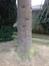 Apenboom, slangenden – Ganshoren, Georges Simpsonstraat, 44 –  09 December 2013