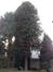 Araucaria du Chili – Ganshoren, Rue Georges Simpson, 44 –  09 Décembre 2013
