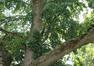 Erable à feuilles de frêne – Ganshoren, Square du Centenaire –  27 Mai 2020