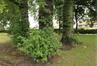 Witte esdoorn – Ganshoren, Wereldtentoonstellingslaan –  01 Juli 2020