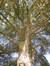 Cèdre bleu de l'Atlas – Ganshoren, Clos Jacques Wagner –  10 Septembre 2015