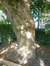 Erable à feuilles de frêne – Ganshoren, Rue Vanderveken, 50 –  10 Septembre 2015