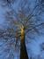 Gewone plataan – Vorst, Marconipark, parc –  12 February 2014