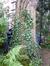 Sophora du Japon – Uccle, Rue Marianne, 40 –  12 Octobre 2012