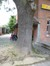 Frêne commun – Bruxelles, Rue de Cortenbach –  16 Juillet 2014