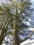 Cèdre de l'Atlas – Uccle, Parc Cherridreux, parc privé –  05 Mars 2013