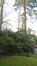 Sciadopitys du Japon – Uccle, Propriété Fond'Roy, Avenue du Prince d'Orange, 49-51 –  10 Décembre 2015