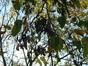 Robinia pseudoacacia var. unifoliola – Bruxelles, Rue de la Régence, 30 –  10 Novembre 2004