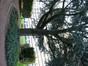 Cèdre bleu de l'Atlas – Forest, Domaine de la Magnanerie, Avenue Minerve, 39 –  09 Octobre 2012