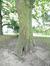 Platane à feuille d'érable – Forest, Domaine de la Magnanerie, Avenue Minerve, 39 –  21 Septembre 2017