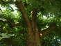 Tilleul à larges feuilles – Bruxelles, Champ du Vert Chasseur, 71a –  28 Juin 2005