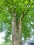 Erable sycomore – Jette, Parc Garcet, parc –  27 Mai 2013