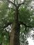 Frêne commun – Jette, Parc de la Jeunesse, Avenue du Comté de Jette –  07 Juin 2018