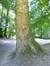 Platane à feuille d'érable – Jette, Parc Roi Baudouin phase 1, parc –  25 Juillet 2014