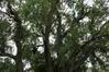 Salix babylonica 'Tortuosa' – Jette, Parc Roi baudouin phase 2, parc –  16 Août 2018