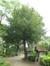 Venijnboom