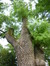 Fraxinus angustifolia – Jette, Grotplein en openbare tuin, Leopold I straat –  26 Mei 2016