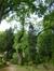 Frêne à feuilles étroites