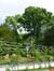 Acer platanoides f. crispum