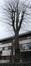 Tilleul à larges feuilles