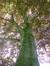 Hêtre pourpre – Jette, Parc Garcet, voirie –  27 Mai 2013