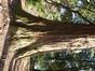 Sequoia géant – Uccle, Parc Cherridreux, parc privé –  05 Mars 2013